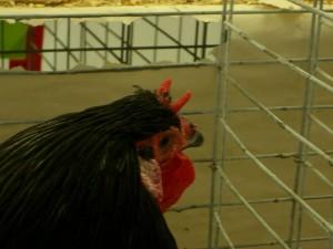 Coq La Flèche avec sa crête caractéristique
