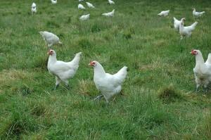 La poule de Bresse