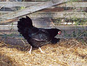 Une poule Alsacienne noire