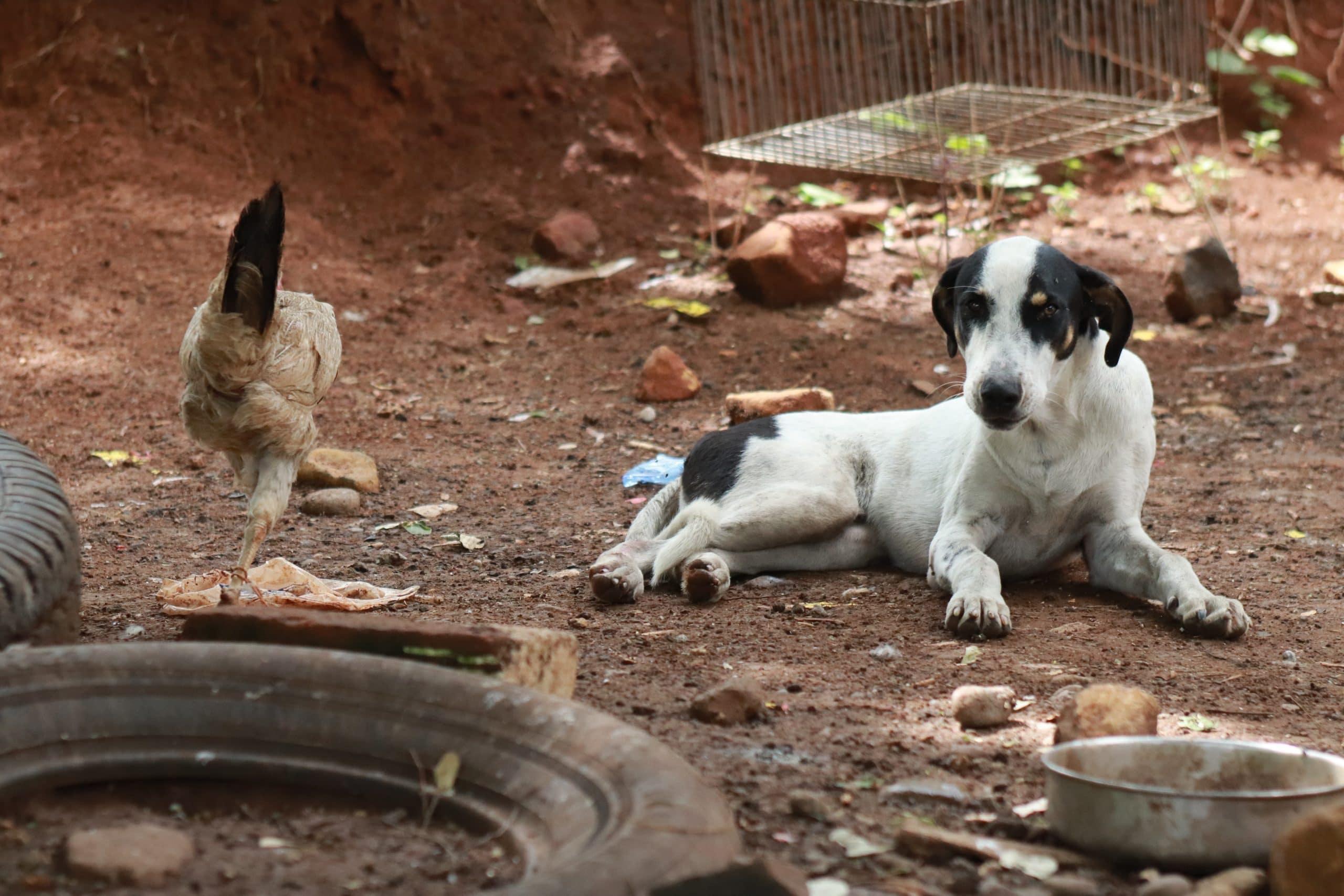Comment établir une cohabitation entre les poules et les animaux domestiques ?
